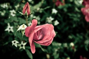 Rose and Bud by MariaWillhelm