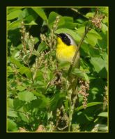 Little Yellowthroat by barcon53