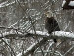 bald eagle 2 by wolvesone