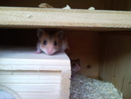 Hiding Hamsters by Helmgard