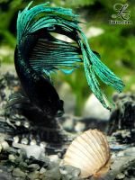 Betta splendens by Linire