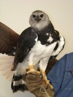 Harpy eagle by concaholic