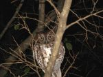 Owl in a Tree at Night by NEKPED