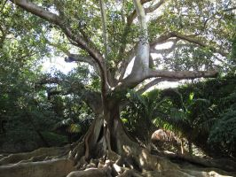 Huge Ficus by FiLH