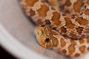 Western Hognose joins the family by Dachindae