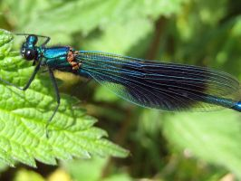 Calopteryx Virgo by iriscup