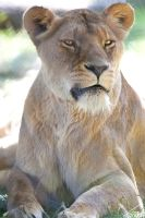Lioness at ZSL Whipsnade Zoo. by SalmaAliPhotography