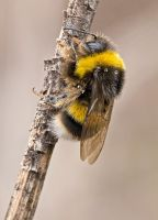 Bombus hortorum by buleria