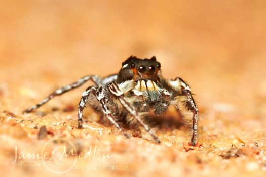 Jumping Spider 68 by JamesMedlin