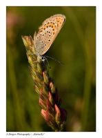 Butterfly by Fantazio