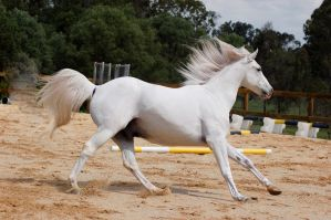 Arab cantering side on right by Chunga-Stock