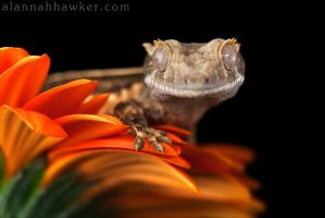 Cute Crestie by Alannah-Hawker