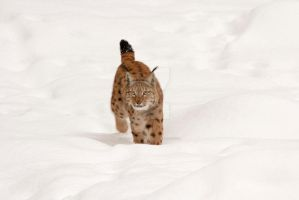 Lynx in Snow Landscape by AngelaLouwe