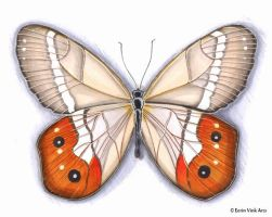 Butterfly 3 orange and brown by EerinVink