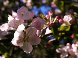 Apple Blossom III by Xercatos