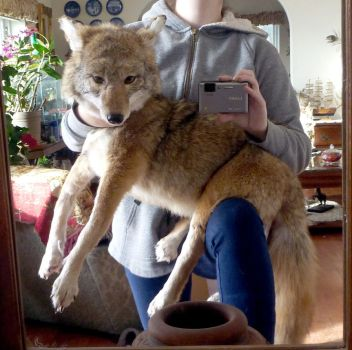 Coyote SOLD by Tricksters-Taxidermy