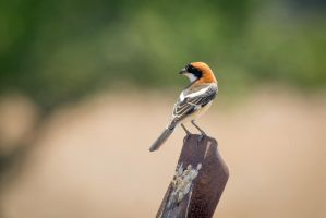 Woodchat Shrike by rat-or-rat