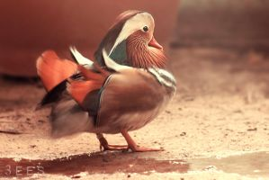 Mandarin duck ... by aoao2