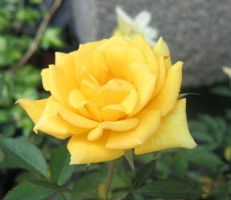 A yellow rose by Asaciel