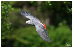 Flyin African Grey at 400mm by W0LLE