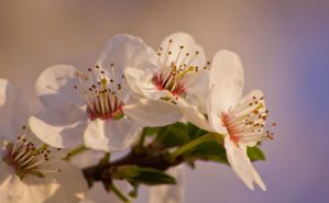 Flowering Tree 2 by JoeGP