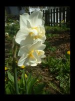 Narcissus by ThisDay