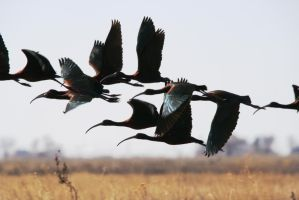 Flock of White-Faced Ibis - Monte Vista April 2013 by Shadow848327