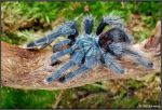 Avicularia sp. by Dark-Raptor