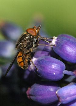 HoverFly 3 by oliverporter3