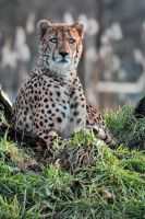 Handsome cheetah! by Seb-Photos