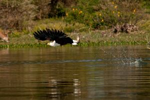 Fish Eagle 4 by catman-suha