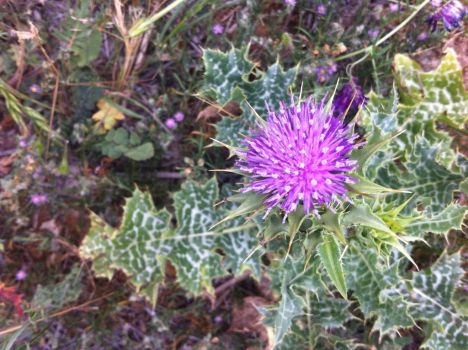 Thistle by ethan-gomez13