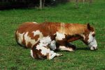 Paint Horse Mare and Foal Laying by elusiveelegance