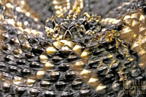 Rattlesnake1 by brijome