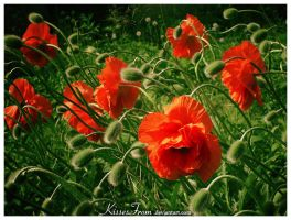 - Poppy Wind - by kissesfrom