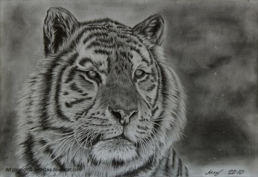 Tiger by dimasbka