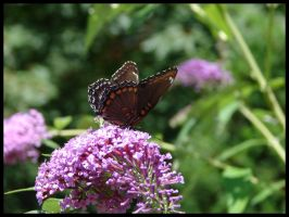 Butterfly on Butterfly Bush by St0DaD