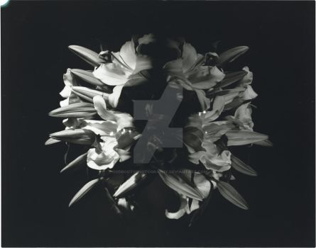 Large format Lilies BW by redbootsphotography