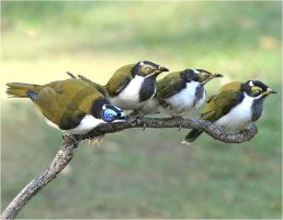 Blue-faced Honeyeater and Family by Firey-Sunset