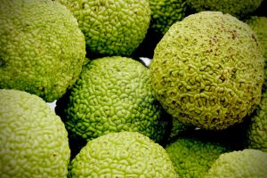 Hedge Apples by bec312
