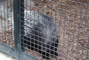 Indian Crested Porcupine by jANNAart