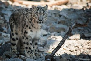 Snowleopard, KA VI by FGW-Photography