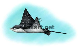 Spotted Eagle Ray by rogerdhall