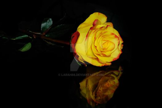 Yellow and Red Rose on Glass by Larah88