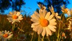 Marguerites in sunlight by magentalight