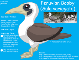 Peruvian Booby Reference by WildLifeWarriors