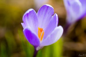Crocus by StainXY