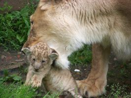 Young lion with mother I by LidiaL