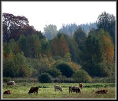 Only cows. And some autumn... by Yancis
