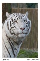 White Tiger by Camera-Pete